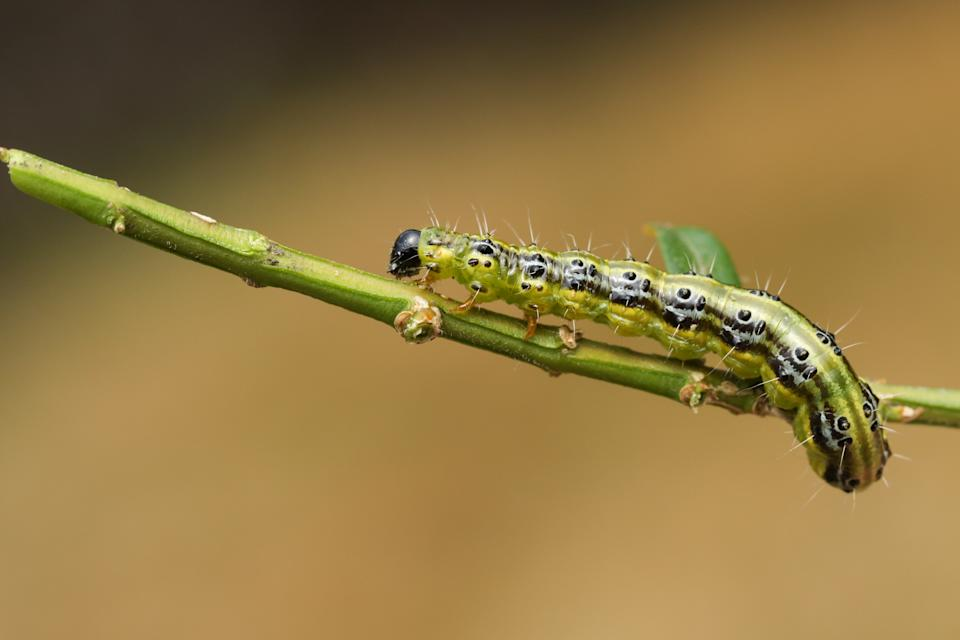 A new threat rising in India in the face of Caterpillar Slugs